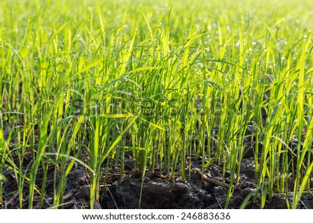 Rice seedlings - stock photo