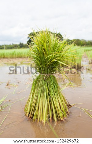 Rice seedlings for planting - stock photo