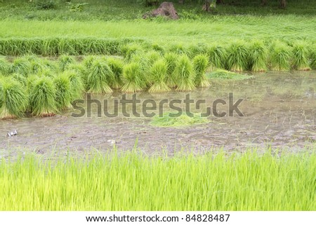Rice seedlings for planting. - stock photo