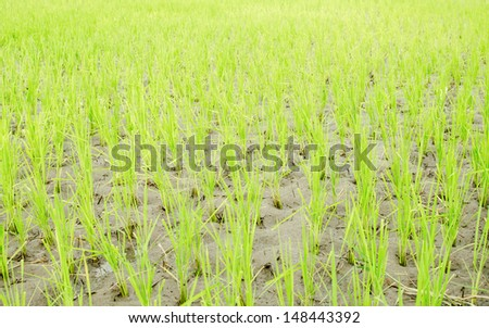 Rice seedlings freshly planted, Thailand, Southeast Asia - stock photo