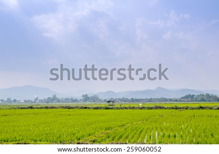 Rice seedlings grown in the green rice fields. - stock photo
