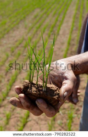 Rice seedlings, N.S.W. Riverina area Australia, rice growing in the Riverina is big business with quality being high the rice is exported to different parts of the World.