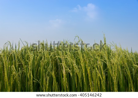 Rice spike in rice field in thailand