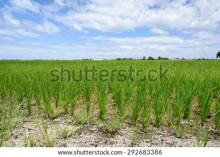 Rice Sprout in Rice field.Rice seedlings green background.