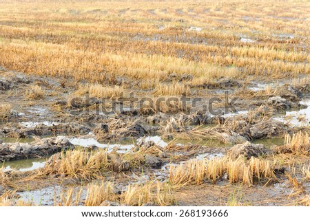 Rice straw burn after harvest and flood before soil preparation - stock photo
