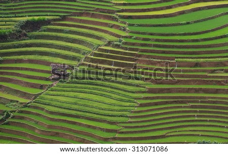 rice terrace field in vietnam