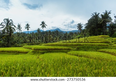 Rice terrace with mountains and palms on a horizon. Indonesia. - stock photo