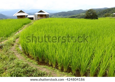 Rice terraces at northern of Thailand, organic rice to protect the environment - stock photo