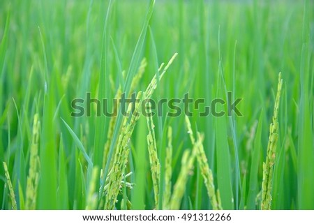 Rice will  yield