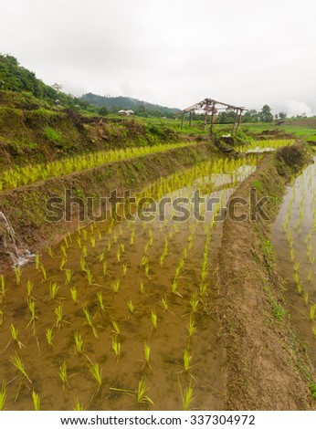 ricefield and old hovel