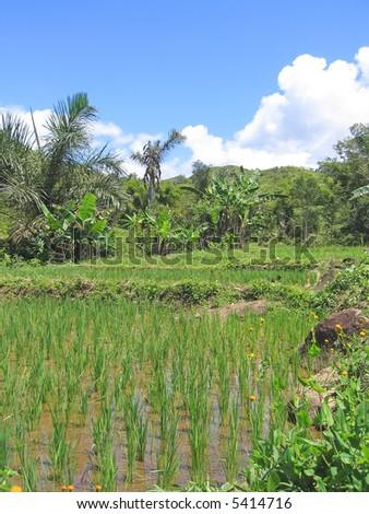 Ricefields - Andapa - Marojejy park - Madagascar. - stock photo