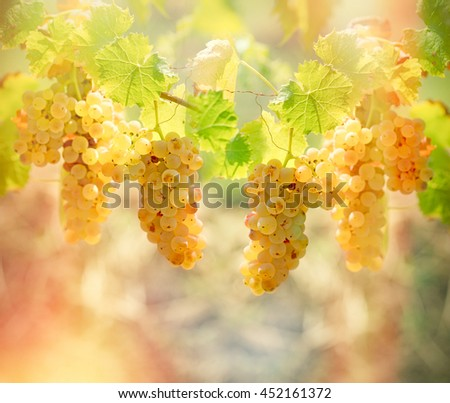 Rich harvest of grapes - Riesling wine grapes - stock photo