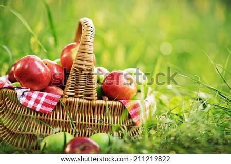 Rich organic apples in a basket outdoors. Autumn harvest of apples in a basket on a green grass in a garden.  - stock photo
