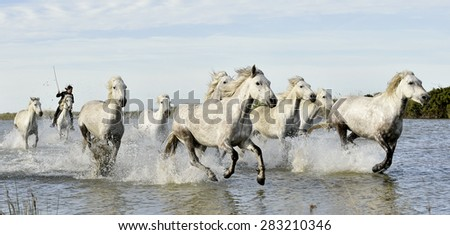 Riders and White horses of Camargue running through water. France Black and white photo - stock photo