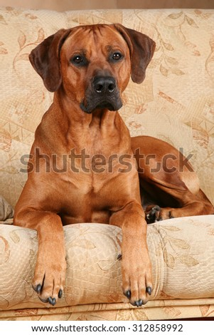 Ridgeback on the couch
