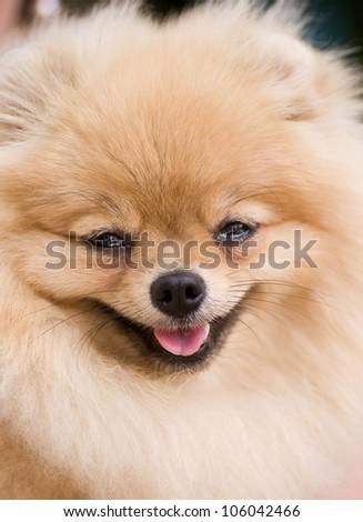 Ridiculous smiling spitz-dog - stock photo
