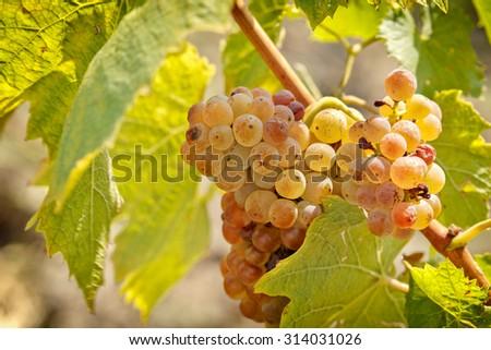 Riesling grape closeup - stock photo