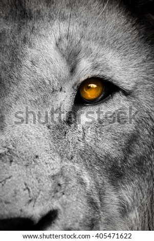 Right side of a lion face - stock photo