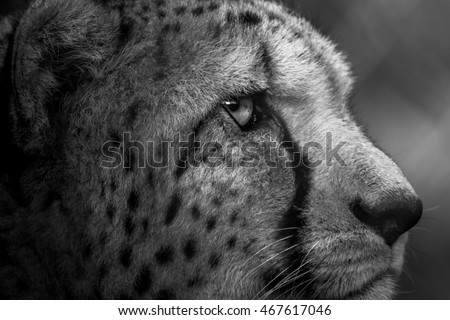 Right Side Of Cheeta's Face Looking Into The Distance In Dramatic Black and White