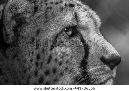 Right Side View Of Cheetah Face Portrait Close Up Looking Into The Distance
