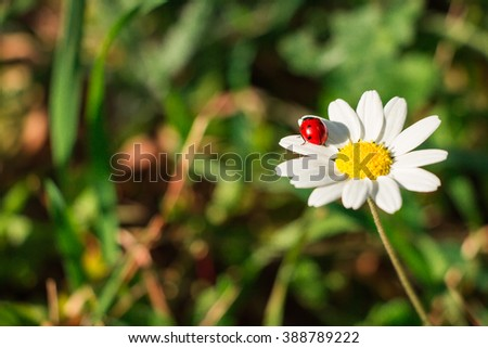Right white daisy flower with a ladybug on it in the garden, on the background of blurred grass. Daisy and ladybird. Daylight. Horizontal. Close.  - stock photo