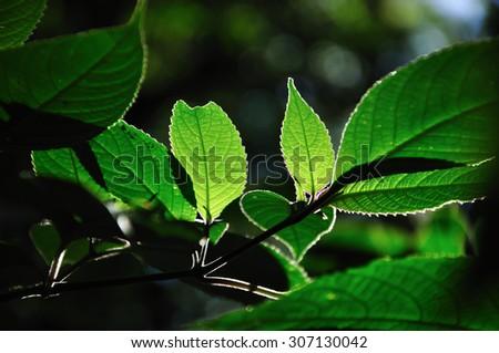 Rim light of leaf in nature - stock photo