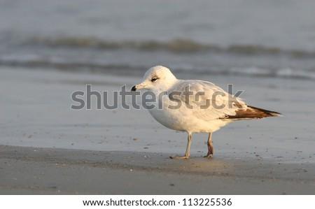 ring-billed gull - stock photo