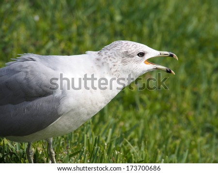 Ring Billed Gull calling out - stock photo
