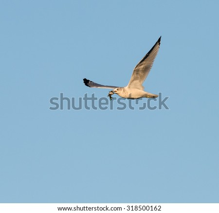 Ring-billed Gull Flying with Fish against Blue Sky