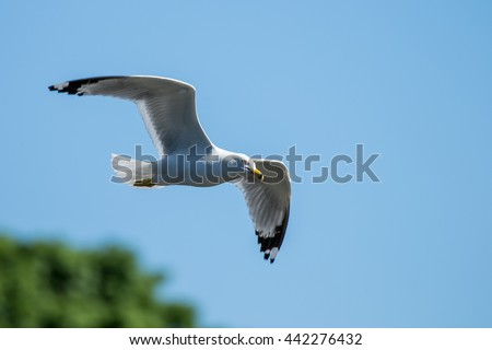 Ring-billed Gull - Larus dalawarensis, flying against a blue sky and making eye contact. - stock photo