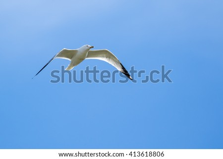 Ring-billed Gull - Larus dalawarensis, flying in a blue sky with light clouds.