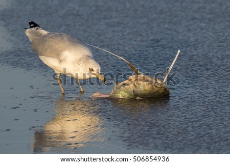 Ring-billed gull (Larus delawarensis) eating dead catfish at the ocean coast, Galveston, Texas, USA