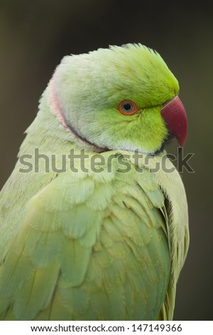 Ring neck parrot - stock photo