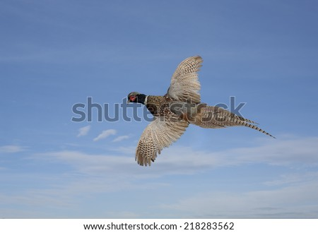 Ring neck pheasant flying, blue sky with clouds background  - stock photo