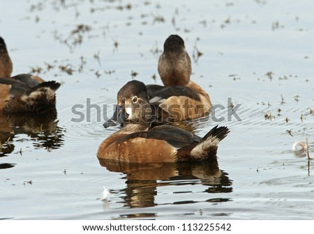ring-necked duck - stock photo