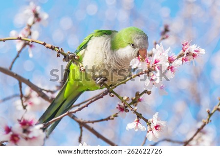 ring-necked parakeet sitting in a blooming almond tree, seen in Madrid, Spain - stock photo