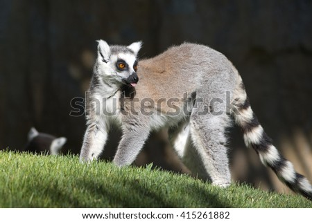 Ring-tail lemur. showing a tongue. - stock photo