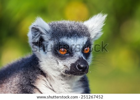 Ring-tailed lemur close up. A close up head and shoulders view of a beautiful ring-tailed lemur. - stock photo