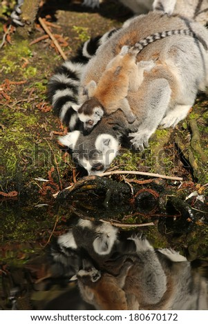 Ring-tailed lemur drinking with baby on its back - stock photo