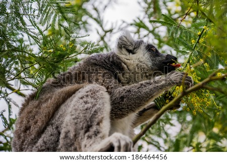 Ring-tailed lemur eating leaves.
