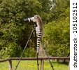 Ring-tailed lemur in captivity, sitting on a photographers tripod - stock photo