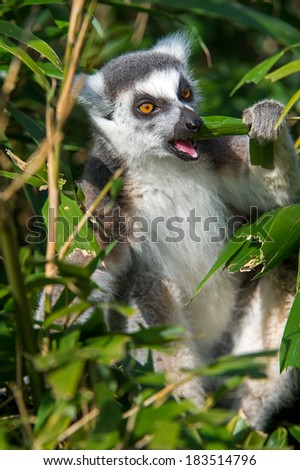 Ring Tailed Lemur in vibrant green foliage/Ring Tailed Lemur/Ring Tailed Lemur