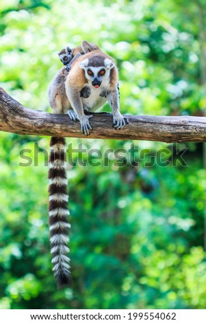 Ring-tailed lemur - Lemur catta  - stock photo