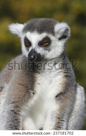 Ring-tailed lemur  (Lemur catta) - stock photo