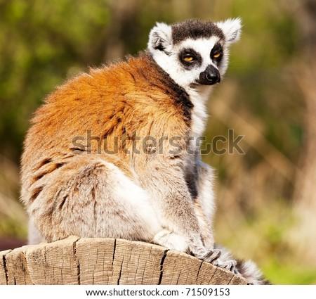 ring-tailed lemur - lemur catta - stock photo