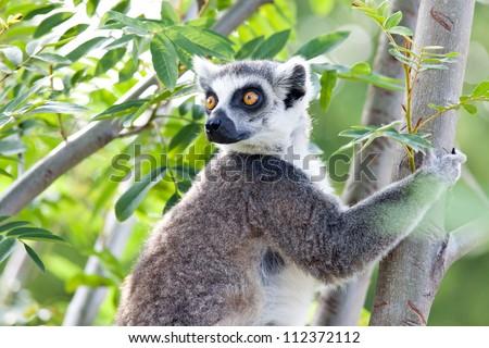 Ring-tailed lemur (Lemur catta): a clade of strepsirrhine primates endemic to the island of Madagascar. - stock photo