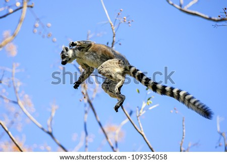 ring-tailed lemur, lemur catta, anja, madagascar