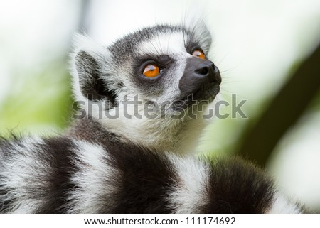 Ring-tailed lemur (Lemur catta) in a dutch zoo - stock photo