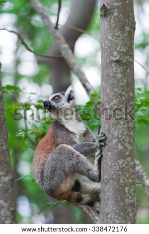 Ring-tailed Lemur (Lemur catta) looks out with big, bright orange eyes and watches from a branch in Madagascar. - stock photo