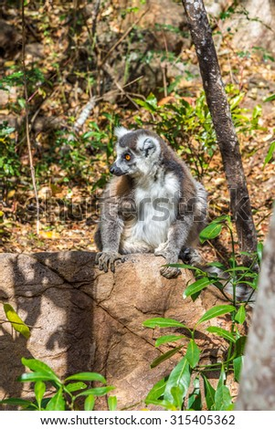Ring-tailed lemur (Lemur catta)- Madagascar